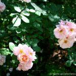Detalle de unas rosas del jardín