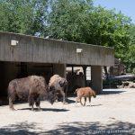 Búfalos americanos