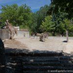 Jirafas y cebras